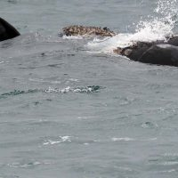 southern right whales - hermanus