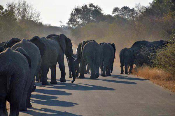elephants – kruger – DSC_6907j