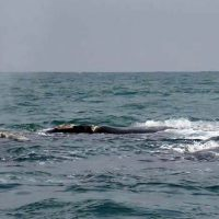 blowing southern right whales - hermanus
