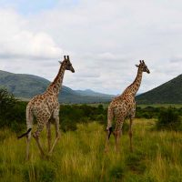 giraffes - game drive - safari