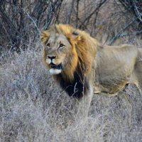 game drive - kruger national park - lion