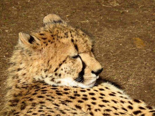 cheetah – safari – IMG_2354j