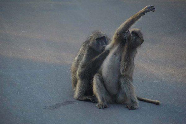 baboons – safari – DSC_6940