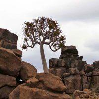 quiver tree / kokerboom - namibia