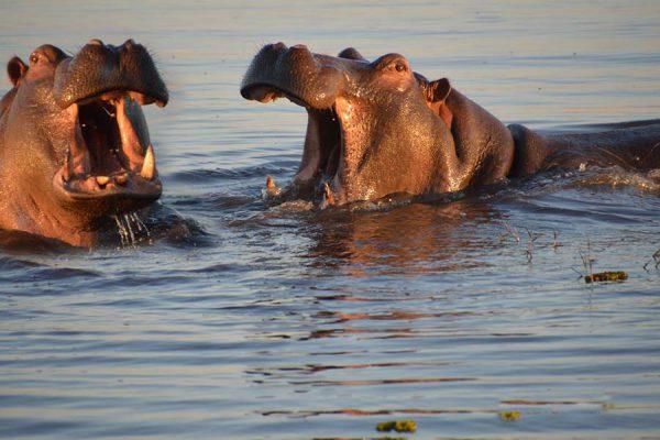 chobe – hippos – DSC_8992ja