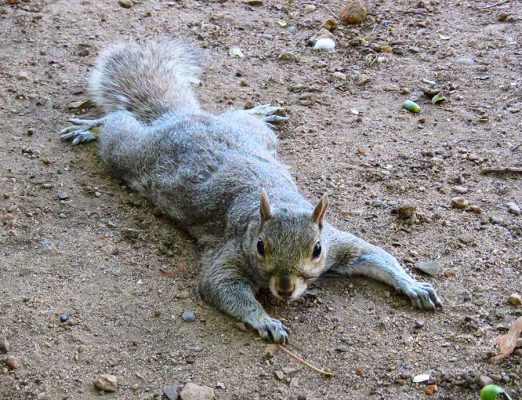company gardens – cape town – posing squirrel – IMG_4964j