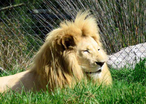 safari lion – IMG_2990j