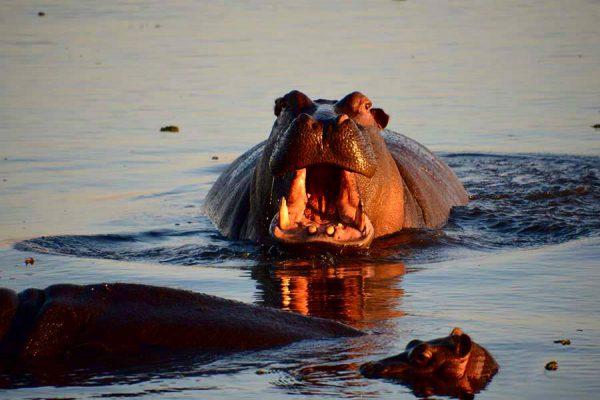 hippo – DSC_8987j