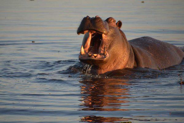 hippo – botswana – DSC_8990j