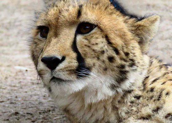 cheetah – garden route – IMG_2378j