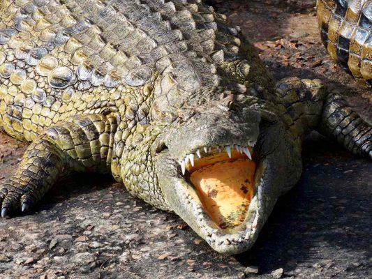crocodile at winelands – IMG_2555j