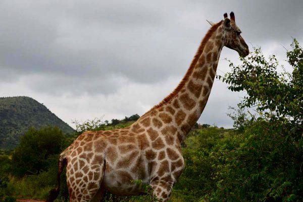 giraffe – pilanesberg nat reserve – DSC_4836