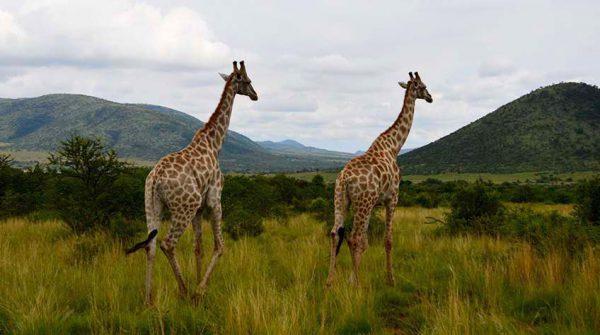 giraffes – safari – DSC_4873