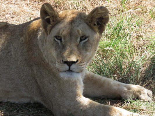 lion park – johannesburg – gauteng – IMG_5445