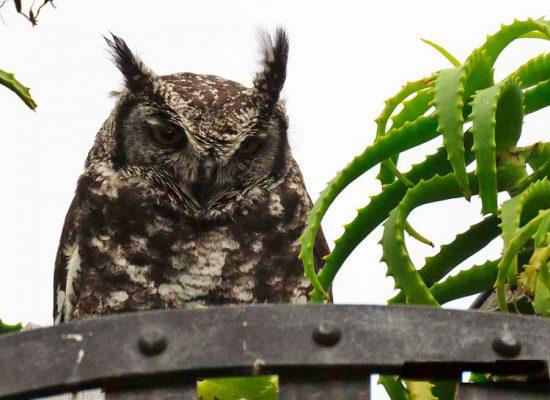 owl – kirstenbosch – IMG_3563j
