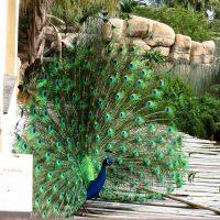 peacock - garden route