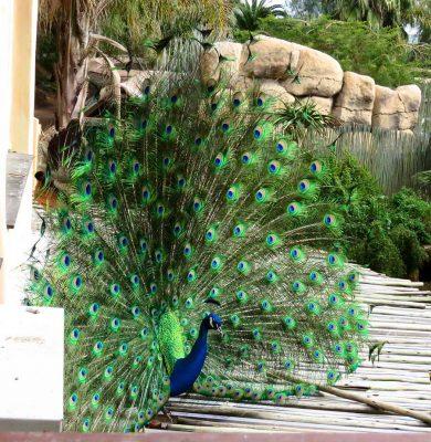 peacock – garden route – IMG_2406j