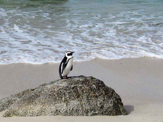penguin – boulders beach – peninsula – IMG_2529j