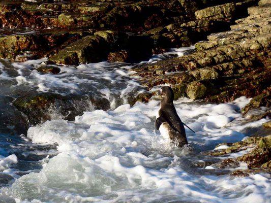 penguin swimming – IMG_2066j