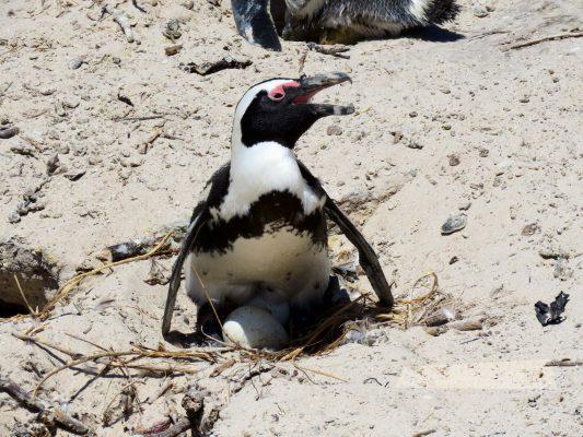 penguin with egg – peninsula – IMG_5113j