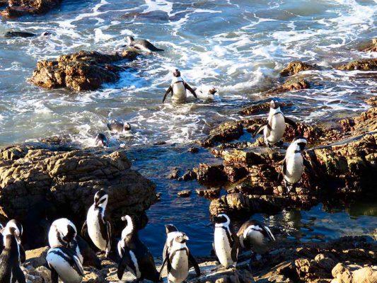 penguins swimming – IMG_2058j