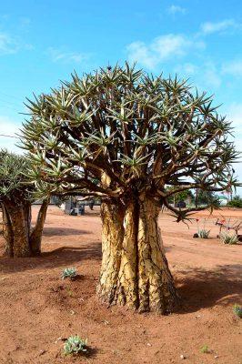 quiver tree – DSC_0904j