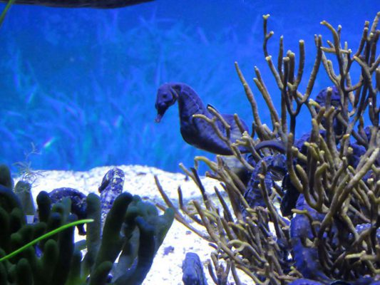 seahorse – V&A waterfront – aquarium – IMG_3745j