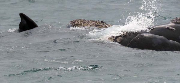 southern right whales – hermanus – IMG_2737j