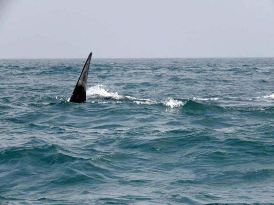 whale – hermanus – IMG_2620j