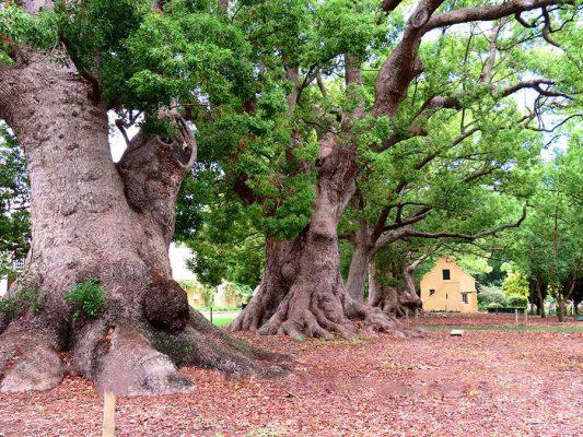 winelands camphor trees – IMG_4624j