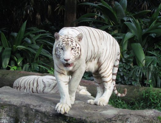 white tiger – IMG_3515