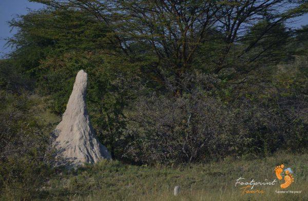 ant-heap in botswana – DSC_8383