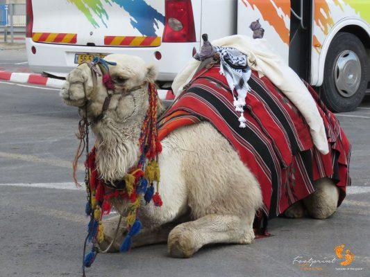 camel in Jericho – Israel – IMG_6361