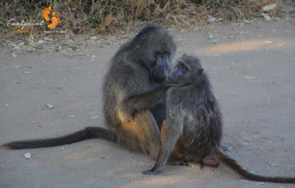 baboon tlc in kruger – DSC_6879