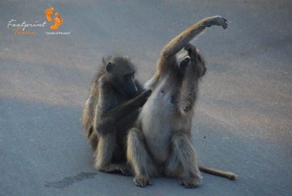 baboons need help – DSC_6942