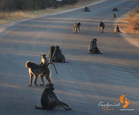 baboons – roadblockers – kruger – DSC_6937