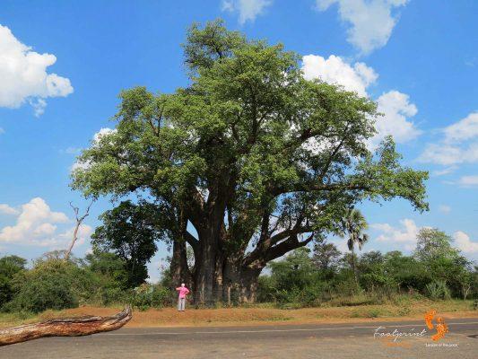 baobab – IMG_0111