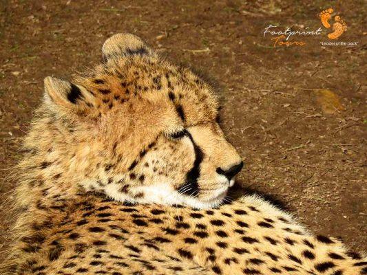 cheetah – IMG_2354