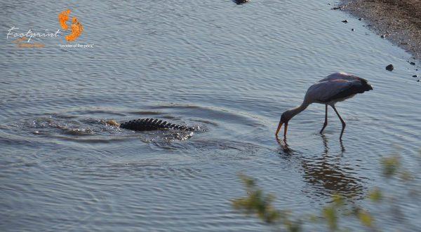 crocodile finds prey – DSC_7361