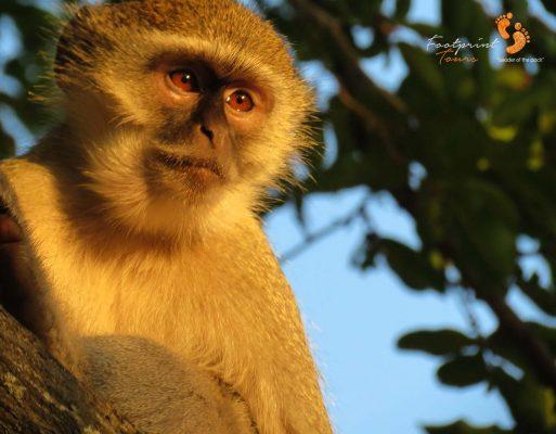 curious monkey eyes – IMG_0301