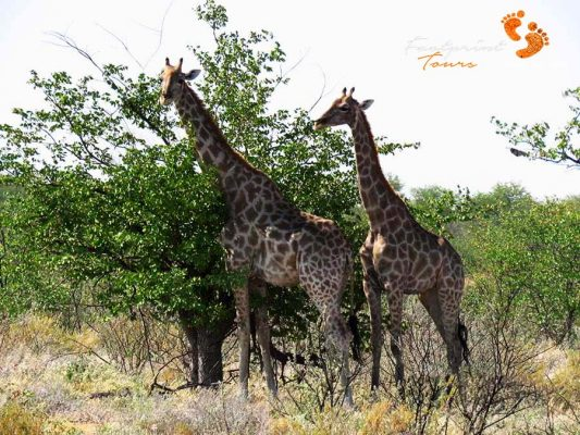 game drive – safari – IMG_1550