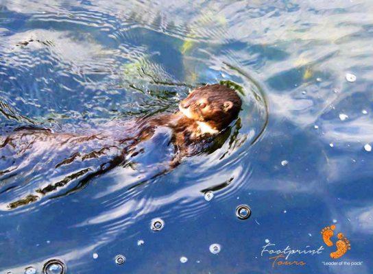 garden route otter – IMG_2326
