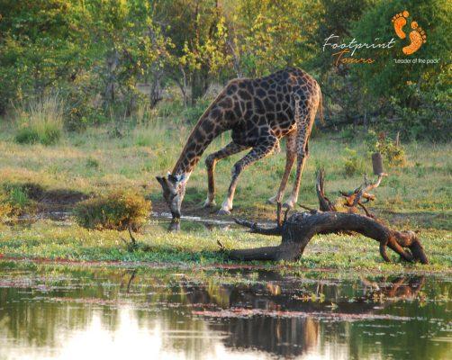 giraffe at waterhole – DSC_0010