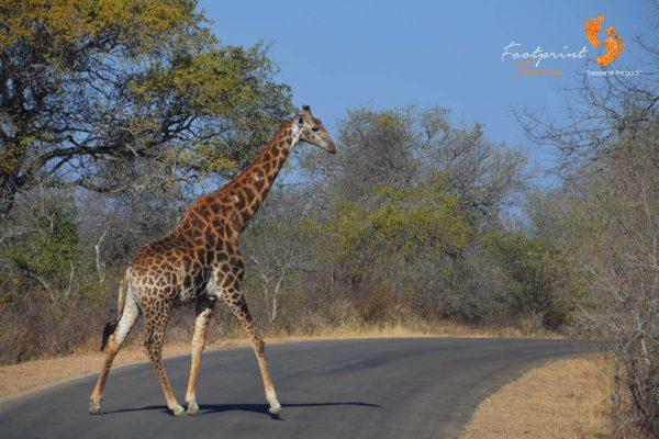 giraffe in kruger – DSC_6835