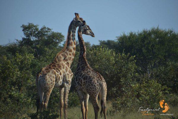 giraffes – safari – DSC_8389