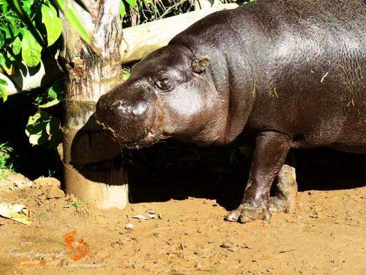 hippo – garden route – IMG_2333