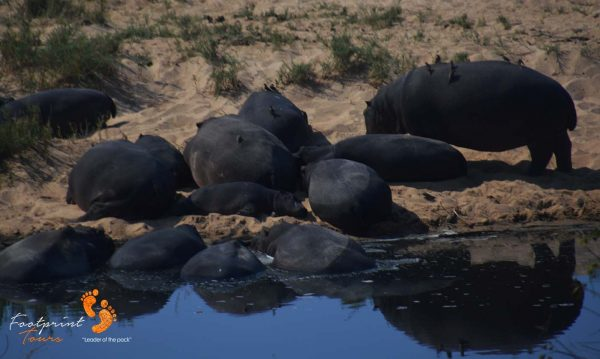 hippos at waterhole – DSC_7318