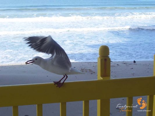 hungry seagull – westcoast – 100_0421