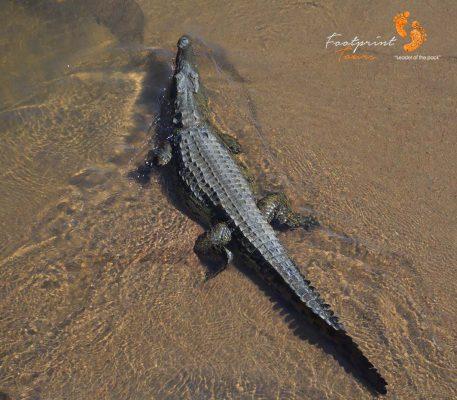 kruger crocodile – DSC_6740