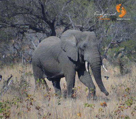 kruger elephant – DSC_6615